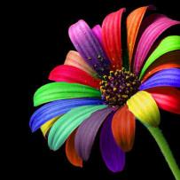 petali colorati